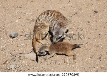 Meerkat (Suricata suricatta), also known as the suricate with a baby. Wildlife animal.  - stock photo