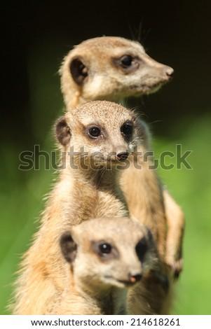 Meerkat (Suricata Suricatta) found in Arnhem Zoo - stock photo