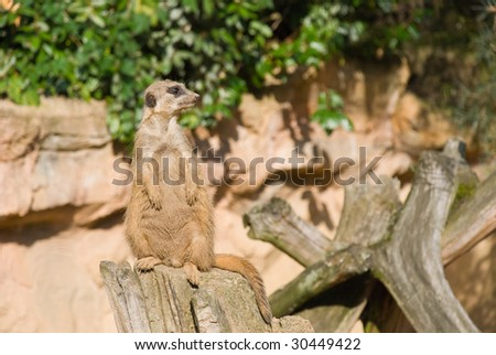 Meerkat (Suricate) Looking Right - stock photo