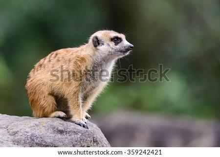 Meerkat (Surikate) close up in japan - stock photo