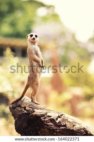 Meerkat (Surikate) found in Melbourne Zoo, Australia - stock photo