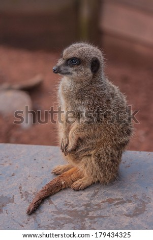Meerkat waiting for his food. A brief rest from playing with his brothers & sisters.