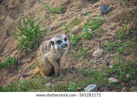 meerkat watching - stock photo