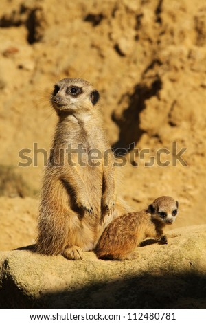 Meerkat with baby standing on a rock - stock photo