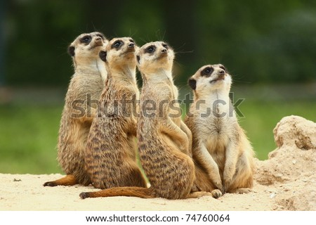 Meerkats all sit together and look at the sky