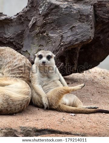 Meerkats cute  in the zoo. - stock photo