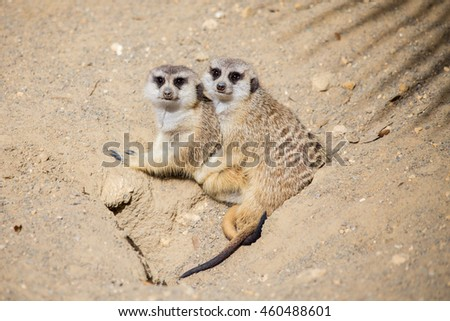 Meerkats facing forward