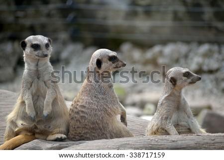 meerkats in fota wildlife park near cobh county cork ireland - stock photo