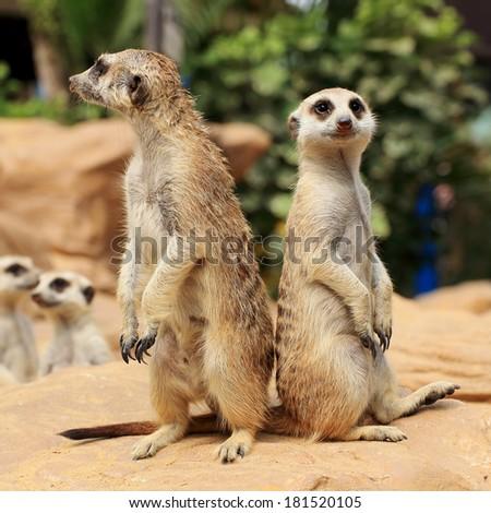 Meerkats in open zoo of Thailand (selective Focus) - stock photo