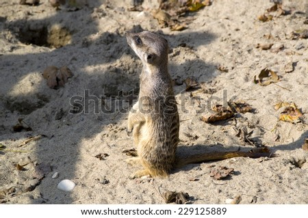 meerkats in the sand