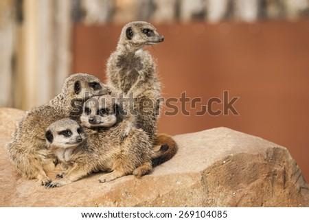 Meerkats in the zoo - stock photo