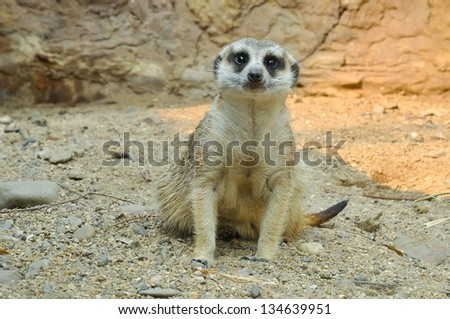 Meerkats live in all parts of the Kalahari Desert in Botswana, in much of the Namib Desert in Namibia and southwestern Angola, and in South Africa.
