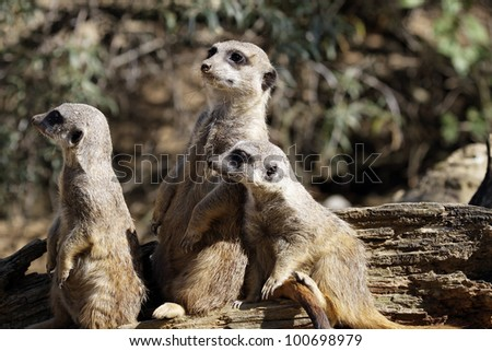 Meerkats look at - stock photo