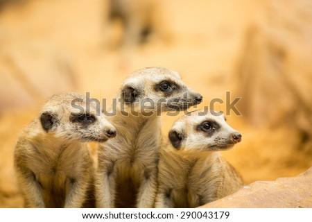 Meerkats looking something in natural wild - stock photo