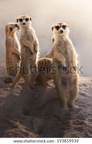 Meerkats smile - stock photo