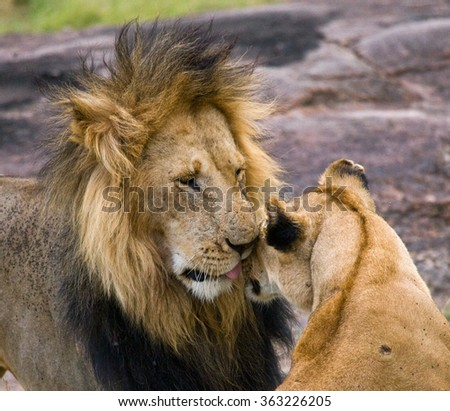 Meeting the lion and lioness in the savannah. National Park. Kenya. Tanzania. Masai Mara. Serengeti. An excellent illustration.