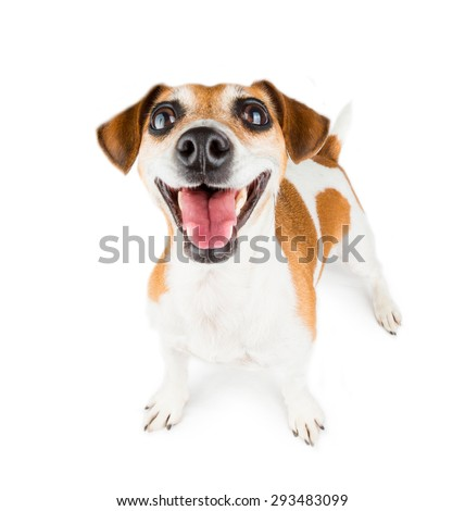 Mega positive sincere smile dog. Big wide tooth smile.  On white background - stock photo