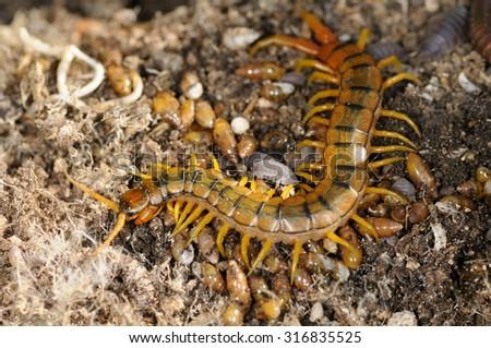 Megarian banded centipede (Scolopendra cingulata) from Apulia - stock photo