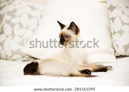 Mekong bobtail lies on the bed gracefully - stock photo