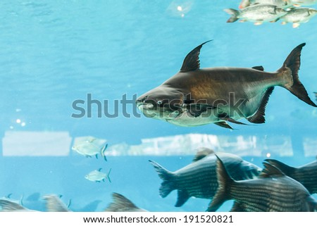 Mekong giant catfish - stock photo