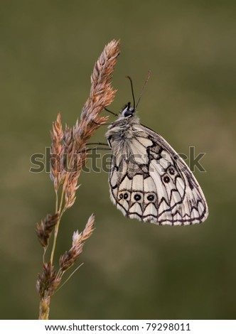 Melanargia galathea butterfly (Marbled White butterfly) in the evening going to sleep
