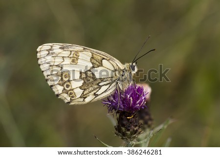 Melanargia galathea, Marbled White butterfly from Lower Saxony, Germany - stock photo