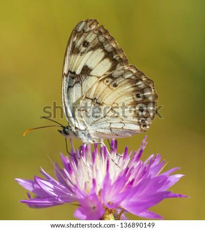 Melanargia titea Butterfly on a flower , Israel - stock photo
