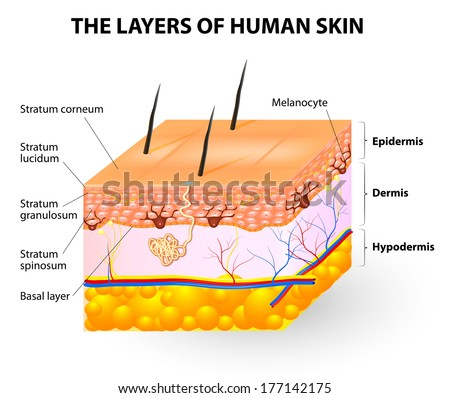 Melanocyte and melanin. layers of the human skin. - stock photo