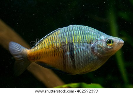 Melanotaenia boesemani, the Boseman's rainbowfish. A very popular and colorful fresh water species from Irian Jaya.