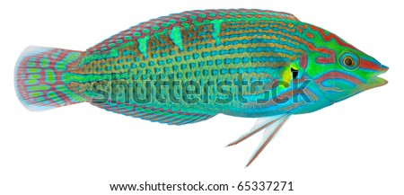Melanurus Wrasse isolated in white background. Halichoeres melanurus