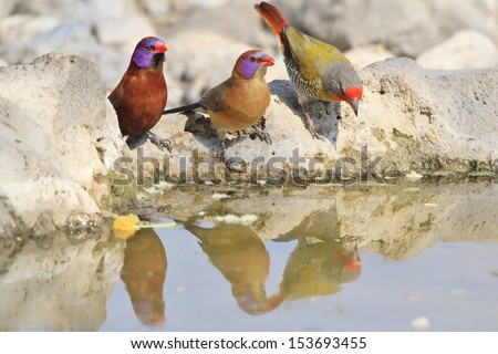 Melba Finch and Violet-eared Waxbill - Wild Bird Background from Africa - Beauty through color and water reflection - stock photo