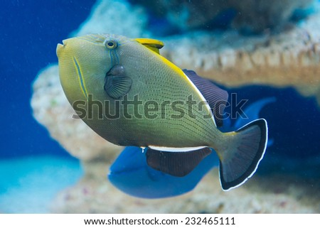 Melichthys indicus - Indian triggerfish - saltwater fish - stock photo