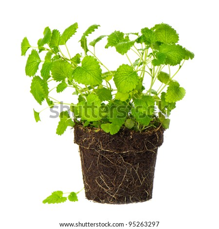 melissa in dirt on white background. lemon balm herb. green mint plant - stock photo