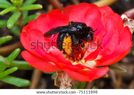 Melissodes bimaculata, Long-horned Bee - stock photo