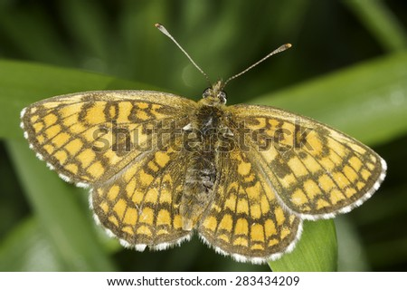 Melitaea athalia butterfly in natural habitat - close up - stock photo