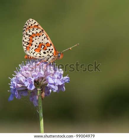 Melitaea Didyma butterfly (Spotted Fritillary) on a purple flower and a tiny cicade below