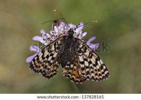 Melitaea didyma meridionalis, Spotted Fritillary or Red-band Fritillary (female) from Western Europe