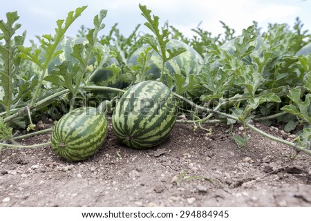 melon field with heaps of ripe watermelons in summer - stock photo