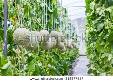 Melon growing in a greenhouse in farm Thailand. - stock photo