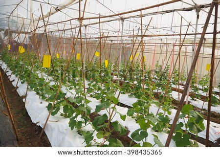 Melon house in grown  - stock photo