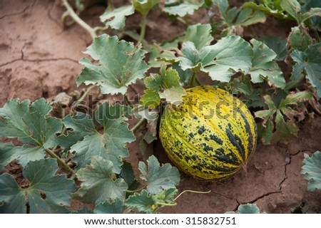 Melon in the Field