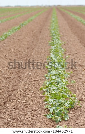 Melon plants growing in the soil of Imperial Valley, California - stock photo