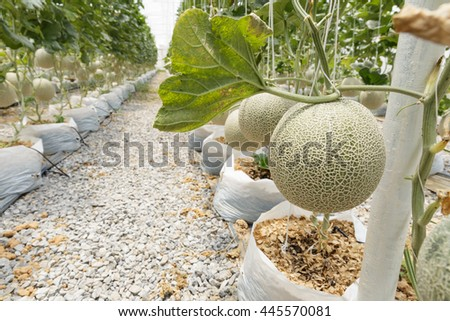 Melons growing in a greenhouse.Selective focus.