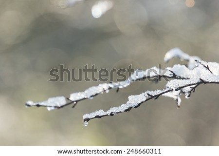 Melting snow on a branch in a forest with soft morning sunlight. - stock photo