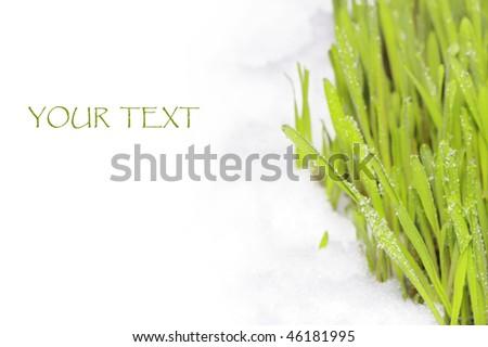 Melting snow on fresh  sprouting rye. - stock photo