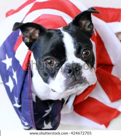 Memorial Day Boston Terrier - stock photo