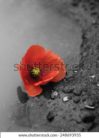 Memorial Day Red Poppy in puddle - stock photo