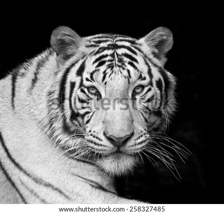 Menacing stare of a white bengal tiger. Black and white closeup portrait. The most dangerous beast shows his calm greatness. Wild beauty of a severe big cat.  - stock photo