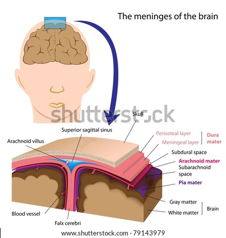 Meninges of the brain - stock photo