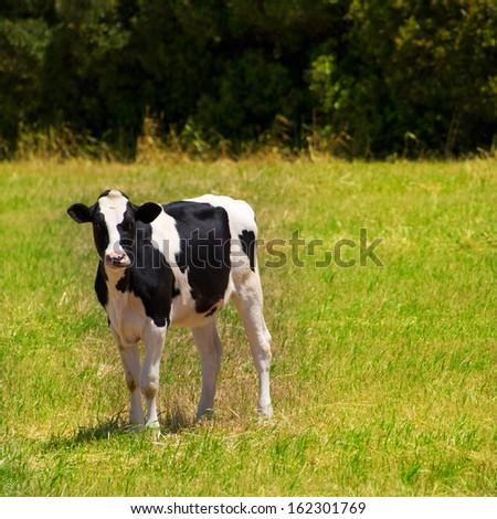 Menorca Friesian cow grazing in green meadow at Balearic Islands of Spain - stock photo